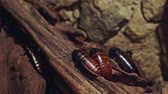 irritação : Cockroaches crawling on a piece of wood