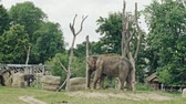 praga : Group of indian elephants in captivity in natural environment at the ZOO in Prague, Czech Republic.
