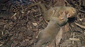 животные : Drawf mongoose, Helogale parvula, Two mammals on ground, Tanzania