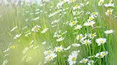 rumianek : Nature Background with blossoming daisy flowers. Flower meadow Summer with selective focus. Wideo
