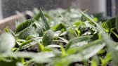 klíčky : Close-up of water splashes refreshing small green sprouts growing in wet soil.