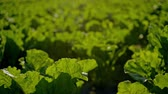 kök : Green beet leaves against the blue sky, summer photo close-up on the agricultural field