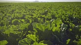 haulm : Beautiful beet grows on the field. Close-up view. Stock Footage