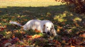 cão de raça pura : cute pets - beautiful golden retriever nibbles on a stick in fallen autumn foliage