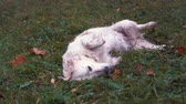 hound : funny video - big happy dog lying on the wet grass in the autumn park