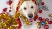 funny pets - big friendly dog posing in studio with christmas decorations on a white background Dostupné videozáznamy