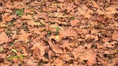 Fallen autumn leaves on the ground in the city park Stok Video