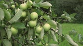 meyve : Branch of tree with green apples ripening in fruit garden Stok Video