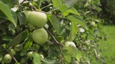 maçãs : Close-up of branch with fresh green apples with drops in sunny fruit garden Vídeos