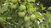 golden : Golden-green apples ripe on branch in sun in orchard Stock Footage