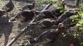 Young domestic turkeys on organic farm yard on summer day