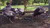 Domestic turkeys on organic farm yard
