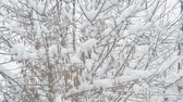 establishing shot : Snow falling on background of leafless box elder tree branches covered with heaps of snow and swaying. Samara seeds trembling in the wind on white snowy backdrop
