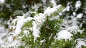 сугроб : Snow falling on beautiful evergreen thuja branch blown by wind on blurry background Стоковые видеозаписи