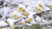 сугроб : Snow falls in winter or spring on snowy Cornelian cherry twig with beautiful yellow flowers gently swinging blown by wind on white blurry background. Also called Cornus mas.