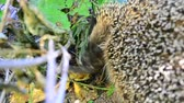 jantar : Closeup of head of cute hungry hedgehog eating a bird in the wild in natural environment in a forest or garden in a sunny day in summer or spring with lush green vegetation Vídeos