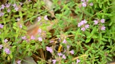 flavour : Bumblebee collects pollen from wild thyme flowers in summer or sping