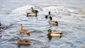 male animal : Anas platyrhynchos. Colorful male wild duck drake comes down to water in a partially frozen pond between winter and spring joining a flock other mallards swimming in the lake in soft sunset light Stock Footage