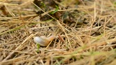 sluggish : Snail comes out of its coiled shell and crawls away on partially dry grass in late summer