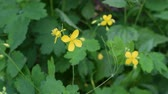 fitoterapia : Chelidonium majus. Yellow flower of greater celandine swaying blown by wind in spring or summer. Greater celandine is a medicinal herb used in both traditional pharmacology and phytotherapy Stock Footage