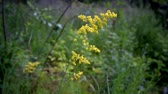 wild : Galium verum. Ladys bedstraw or yellow bedstraw on background of green grass in summer. Herbaceous perennial plant of Rubiaceae family