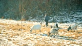 pár : KIEV OBLAST, UKRAINE - CIRCA DECEMBER 2016 - Shepherd pasturing a few goats in sunny day circa September 2016 in Kiev oblast.
