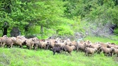 domestic : Herding Sheep in Mountains, Flock of Sheep Grazing on Hill, Pastoral Landscape