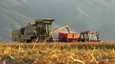machinery : 4k agriculture and harvester transfering fresh rice, wheat in tractor at sunset golden hour.  Stock Footage