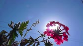 botany : flower background. Flowering pink primula against blue sky and sun (Primula vulgaris. Bright pink) Stock Footage