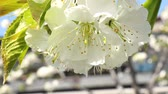blossoming : 4K Springtime Blossoming Flowers Almond Trees 4K 3840 x 2160 ultra high defintion Stock Footage