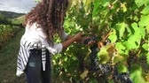 uva passa : 4k: Picking Grape - Stock Video steadicam shoot. Picking grape in the vineyard, close up view on the hands. Steadicam in a French vineyard.