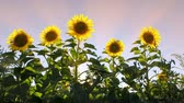 Sunflowers on a background sunset, cinematic agriculture background