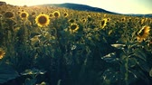 harvest : Walking pov through a sunflower field on a sunset Stock Footage