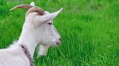 goatee : Goat on green meadow (life sound)