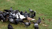 pomba : A flock of pigeons eating.