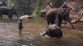 slonová kost : Chiang Mai Thailand - March 24, 2019: Elephants taking a bath with mahout in river, in Chiang Mai Thailand.
