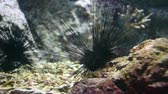 polinesia francese : Sea urchin on rock. sea urchin macro. Filmati Stock