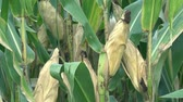 pelúcia : Corn cobs in the corn field plants