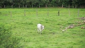 pelúcia : white bull walking at the green field