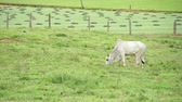 santa catarina : bulls eating green grass at the field