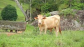 santa catarina : brown bull eating grass on the green field Stock Footage