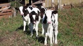 santa catarina : small calves in Their first days on the farm Stock Footage