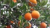 pelúcia : many oranges on the tree in sunny day
