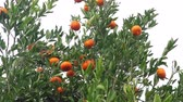 pelúcia : many tangerines fruits in the tree ready to eat
