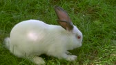 lebre : A white rabbit in grass