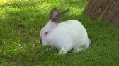 zając : A white rabbit in grass
