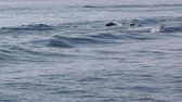 tursiops : Pod of dolphins surfing on waves