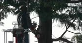 winda : Professional lumberjack cuts branches of a big thuja with a chainsaw
