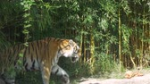 A tiger walking in the jungle