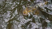 A Koi fish swimming on the surface of a pond